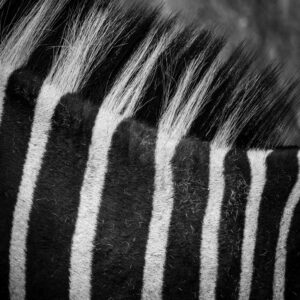 close up of zebra stripes and mane
