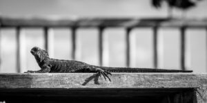 a baby iguana lying in the sun on a step in the Galapagos