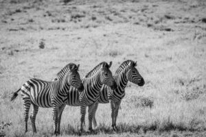 three zebra standing side by side in South Africa