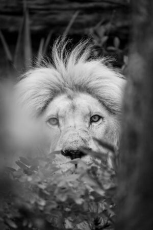 male white lion watching through the foliage in South Africa