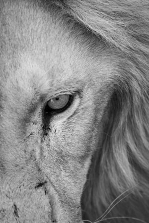 close up half portrait of male white lion South Africa