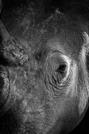 Jonathan Bond, rhino, wildlife, safari, Africa, South Africa, portrait