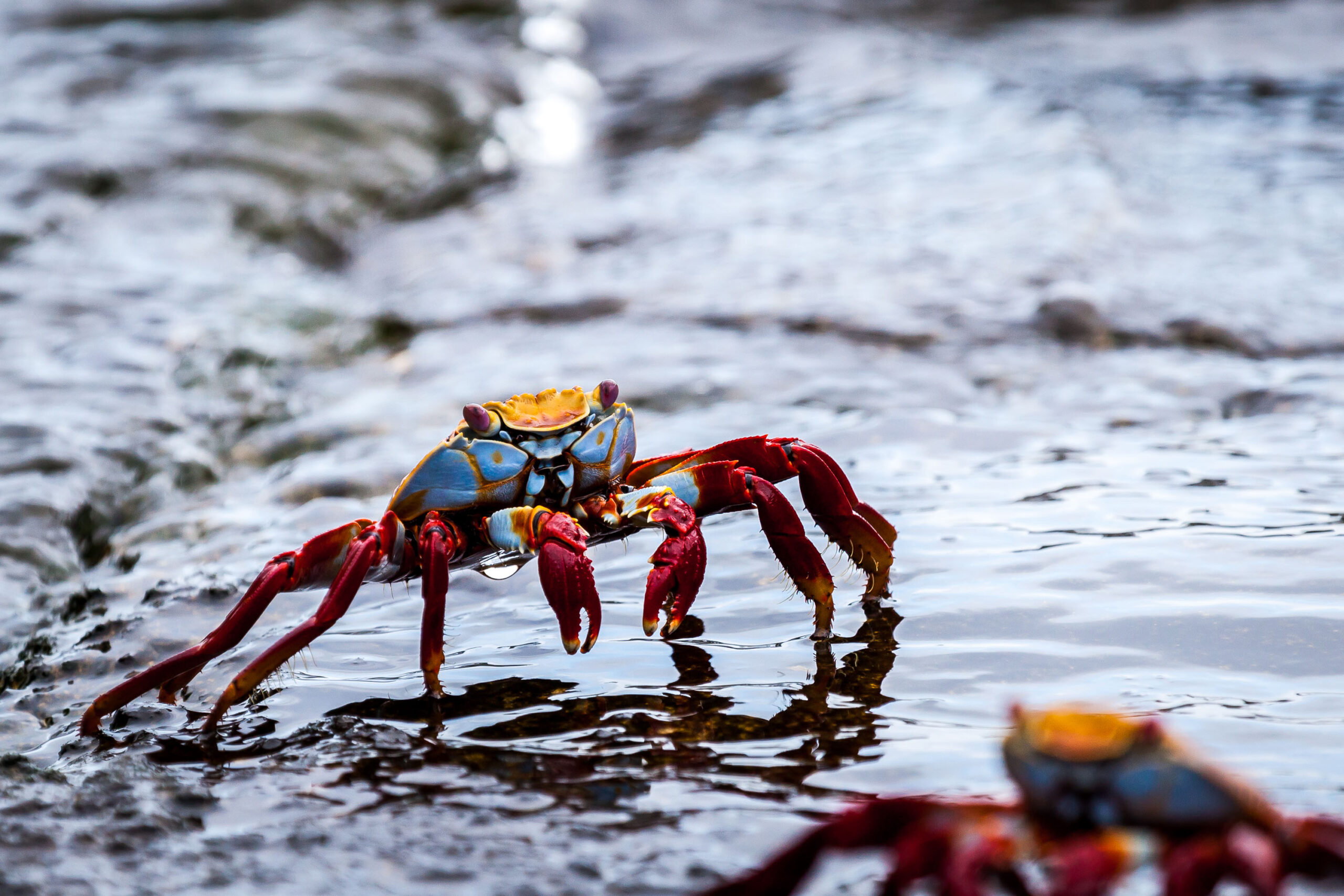http://Sally%20Lightfoot%20Crab%20March