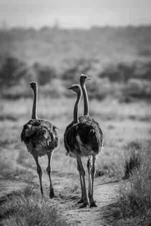 three ostriches walking on a path